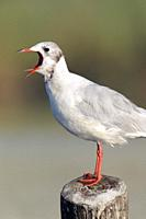Black-headed Gull at S'Albufera, Majorca, Spain