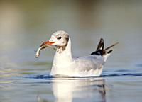 Black-headed Gull and fish at S'Albufera, Majorca, Spain