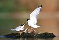 Adult feeding a young Common Tern Sterna hirundo at S'Albufera, Majorca, Spain