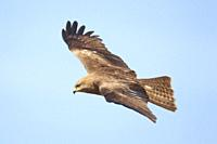 Black Kite in flight, Lleida, Spain