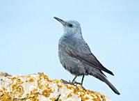 Blue Rock Thrush Monticola solitarius on a stone, Majorca, Spain