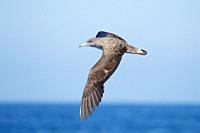 Cory's Shearwater Calonectris diomedea flying, Mediterranean Sea