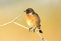 Stonechat Saxicola torquata on a branch, Majorca, Spain