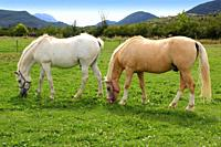 white horses meadow prairie grassland in Pyrenees Spain