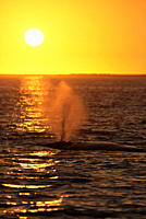 Grey whale Eschrichtius robustus Spouting at sunset San Ignacio Lagoon, Baja, California