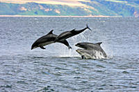 A calf and three adult bottlenose dolphins Tursiops truncatus breaching from the water, Moray Firth, Scotland