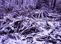 Australian high country in winter tree ferns under snow