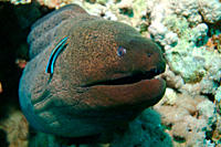 Giant Moray Gymnothorax javanicus Red Sea