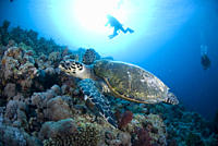 Green Turtle Chelonia mydas, turtle swimming above colourful coral reef with blue water background and scuba diver, Red Sea