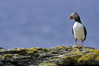 Horned puffin Fratercula arctica Hebrides, Scotland