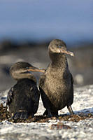 Flightless cormorant Nannopterum harrisi in the Galapagos Island Group, Ecuador This Galapagos endemic cormorant has lost the ability to fly as there ...