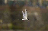 Arctic Tern Sterna paradisaea flying in Oban town centre with fish in mouth Oban Argyll Scotland, UK