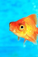 Goldfish, Fukushima, Japan