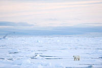 Polar Bear Ursus maritimus Longyearbyen, Svalbard, Norway