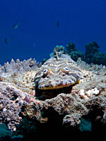 A Crocodilefish Papilloculiceps longiceps laying in wait on top of a tanle coral Na'ama Bay, Sharm El Sheikh, South Sinai, Red Sea, Egypt rr