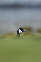Canada Goose Branta canadensis head shot with body hidden by coastal grassy knolls Isle of Mull, Argyll and the Islands, Scotland, UK