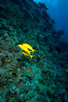 3 Yellowsaddle goatfish Parupeneus cyclostomus in constrast against the reef wall Red sea Egypt