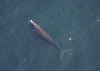 Aerial view of Northern right whale Balaena glacialis glacialis surfacing Gulf of Maine, USA rr