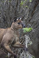 Kangaroo Island grey kangaroo Macropus fuliginosus, Lathami Conservation Park, Kangaroo Island, South Australia, Australia, Pacific