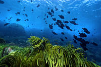Green algae, Caulerpa racemosa and black durgon, Melichthys niger, schooling, St Peter and St Paul´s rocks, Brazil, Atlantic Ocean