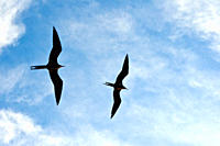 Adult male magnificent frigatebirds Fregata magnificens on the wing near breeding colony on Isla Magdalena, Bahia de Magdalena, Baja California Sur, M...