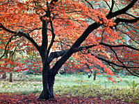 England, Gloucestershire, Westonbirt Arboretum. Autumn colour on display at Westonbirt, The National Arboretum