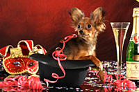 Russian Toy Terrier dog _ puppy in a hat
