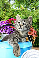 tabby kitten in a watering can