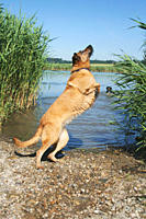 half breed dog at the shore _ jumping