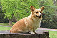 Welsh Corgi Pembroke dog _ sitting