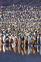King Penguin Aptenodytes patagonicus breeding and nesting colonies on South Georgia Island, Southern Ocean King penguins are rarely found below 60 deg...