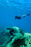 Green sea turtle Chelonia mydas at cleaning station at Olowalu Reef on the west side of the island of Maui, Hawaii, USA The range of this species exte...