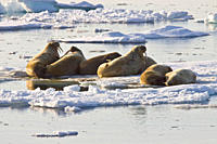 Adult male walrus Odobenus rosmarus rosmarus on ice floes near Moffen Island at almost 80 degrees north in the Svalbard Archipelago in the Barents Sea...