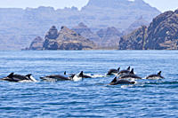 Long_beaked Common Dolphin pod Delphinus capensis encountered off Isla Danzante in the southern Gulf of California Sea of Cortez, Baja California Sur,...