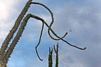 A look at the strange and wonderful shapes of cactus and succulents in the Valle of the Cirrios where cactus are in bloom in the Sonoran Desert of Bah...