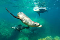 California sea lions Zalophus californianus underwater at Los Islotes the islets just outside of La Paz, Baja California Sur in the Gulf of California...