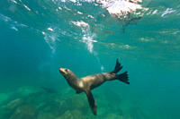 California sea lion Zalophus californianus underwater at Los Islotes the islets just outside of La Paz, Baja California Sur in the Gulf of California ...