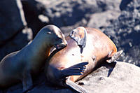 Galapagos sea lion Zalophus wollebaeki pup nursing in the Galapagos Island Group, Ecuador Pacific Ocean