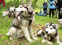 Captive Male Siberian Huskies at the Siberian K9 Kennel and Lodge, Petropavlovsk Kamchatka Russia, Asia MORE INFO: Dogs used for sled pulling and race...