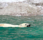 Polar Bear Ursus Maritimus bathing in ocean Akpatok Island, Quebec, Nunavik, Canada, North America