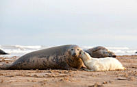 Grey Seal Halichoerus grypus pup ´biting´ mother November Donna Nook, Lincolnshire, UK
