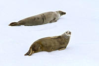 Crabeater seal Lobodon carcinophaga hauled out on ice floe near the Antarctic Peninsula MORE INFO crabeater seals often exhibit spiral scarring on the...
