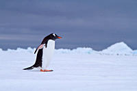 Gentoo penguins Pygoscelis papua in Antarctica, Southern Ocean MORE INFOThe gentoo penguin is the third largest of all penguins worldwide, with adult ...