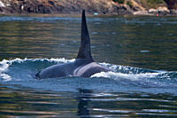 Excited whale watchers on shore see all three resident killer whale Orcinus orca pods named J, K, and L pod from the Southern Resident Community consi...