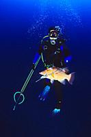 spearfisherman with good catches _ hogfish, Lachnolaimus maximus, off Tampa, Florida, USA, Gulf of Mexico, Caribbean Sea, Atlantic Ocean,  _ MR: 00001...