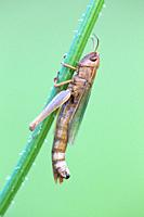 Grasshopper Chorthippus parallelus, resting on grass stalk, Lower Saxony, Germany