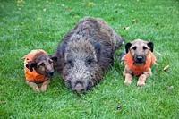 Westfalen Terrier, hunting dogs, two with shot wild boar, Lower Saxony, Germany