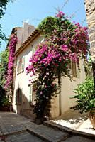 France, Grimaud, View of flowering creeper growing besides house