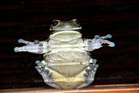 Frog stuck on glass window, Hyla sp , Fazenda San Francisco, Miranda, Mato Grosso do Sul, Brazil
