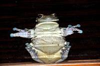 Frog stuck on glass window, Hyla sp , Fazenda San Francisco, Miranda, Mato Grosso do Sul, Brazil
